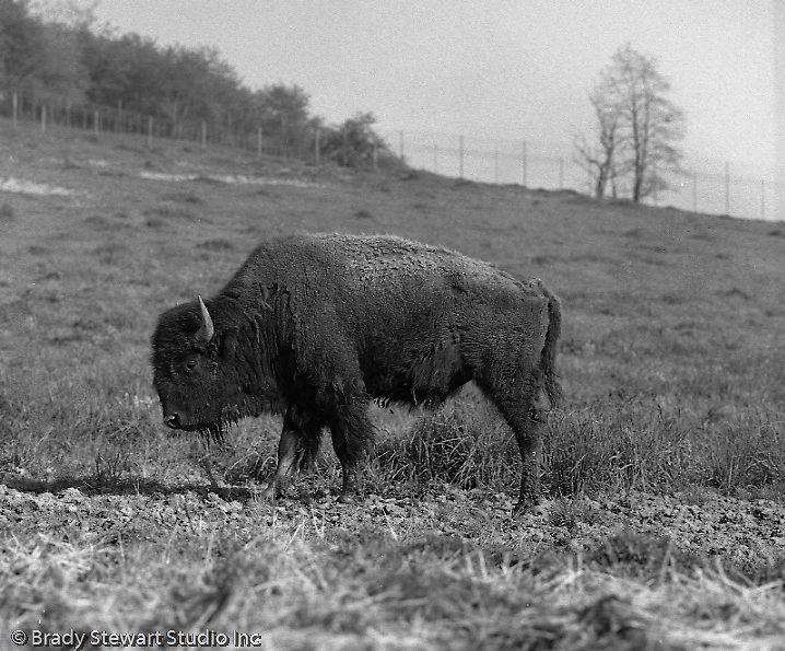 South Park PA:  A Buffalo grazing in South Park.<br /> The buffalos were brought to South Park (and North Park) in the late 1920s along with real Western Indians.  The Indians were living in the park but it was short-lived;  the North Park tribe were evicted because they were eating the buffalo and the South Park tribe left due to the cold weather. But the Bison / Buffalos remain.