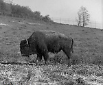 South Park PA:  A Buffalo grazing in South Park.<br />