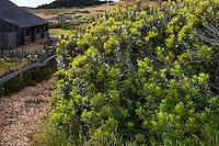 Morella californica (aka Myrica californica) California wax myrtle California native shrub hedge, The Sea Ranch