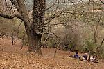 T-036 Turkish Oak on Mount Hermon