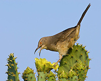 Curve-billed Thrasher on a cactus.