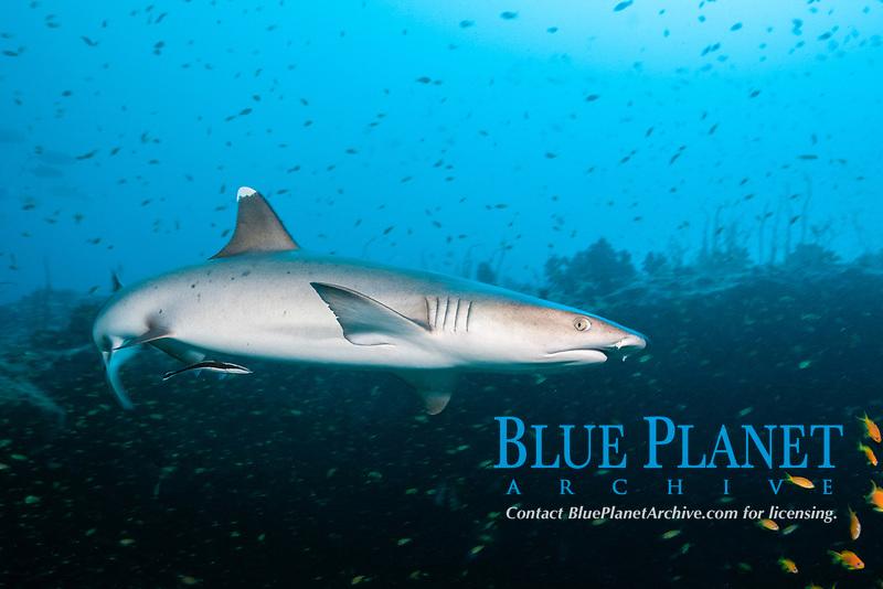 whitetip reef shark, Triaenodon obesus, Felidhu Atoll, Maldives, Indian Ocean