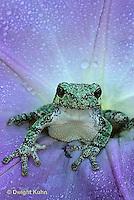 FR15-030c  Gray Tree Frog - Hyla versicolor