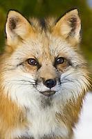 Red Fox portrait - CA