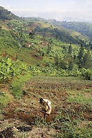 Rwanda. Southern province. Village of Mushubati. A black man, a farmer with a hoe, works in the fields. View on the green hills. Bananas trees. © 2007 Didier Ruef