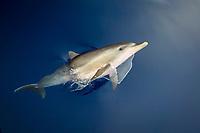 Indo-Pacific bottlenose dolphin, Tursiops aduncus, calf, bow-riding, Chichi-jima, Bonin Islands, Ogasawara Islands, Japan, Pacific Ocean