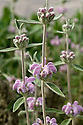 Phlomis italica, lilac-purple-flowered relative of Jerusalem sage (Phlomis fruticosa).