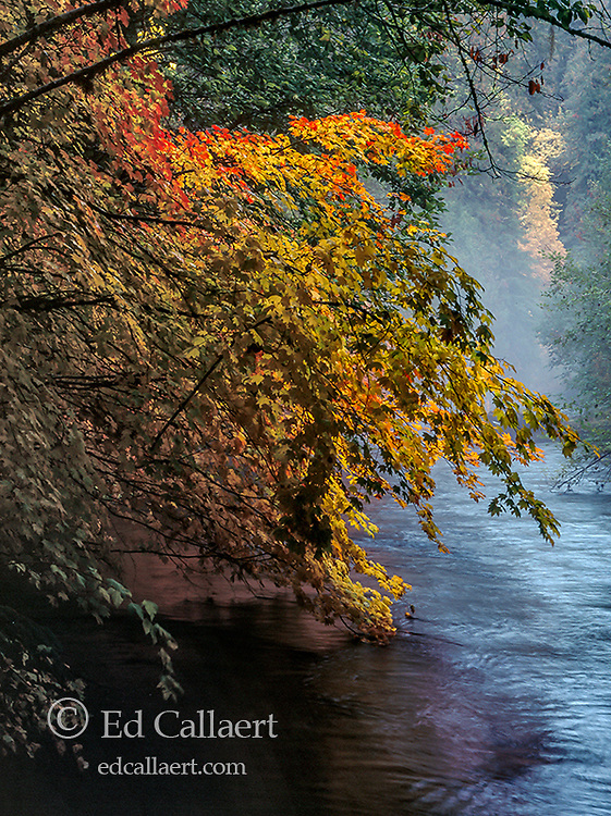 Vine Maple, Acer circinatum, McKenzie River National Wild and Scenic River, Willamette National Forest, Oregon
