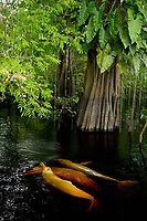 Amazon River Dolphin or Boto (Inia geoffrensis) Swimming in flooded Forest, Rio Negro, Amazonia, Brazil
