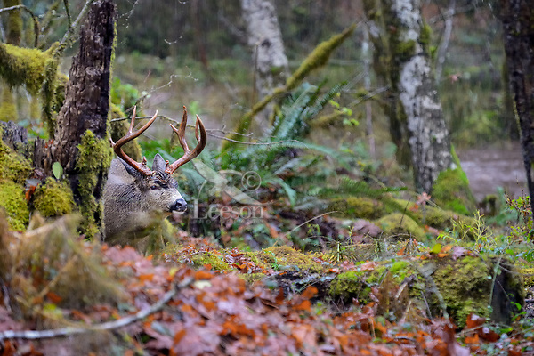 Columbian black-tailed deer (Odocoileus hemionus columbianus) large buck on rainy fall day.  Olympic National Park, WA.  November.
