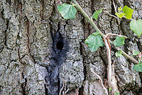 BNPS.co.uk (01202) 558833. <br /> Pic: CorinMesser/BNPS<br /> <br /> Pictured: One of the holes drilled into the trees. <br /> <br /> Police have launched an investigation into allegations a wealthy homeowner has killed two 'magnificent' oak trees because they blocked their sea views.<br /> <br /> The 70ft tall mature specimens have had holes drilled into their trunks and poison poured inside in a 'disgraceful' act of sabotage. <br /> <br /> The two trees stand on the edge of a recreation ground between Poole Harbour, Dorset, and a cluster of luxury homes that sell for between £2m to £3m.