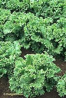 HS21-745x  Lettuce - Ultra Green Lettuce variety