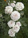 Sweet Arlene miniflora Rose, Rosa hybrid