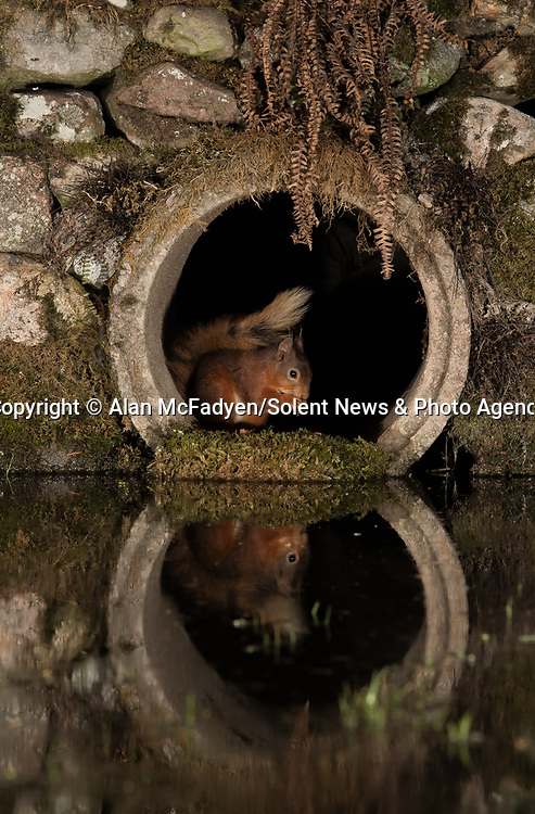 Pictured: A red squirrel peeks out of the tunnel<br /> <br /> A series of animals are perfectly reflected in a pool of water as they peek their heads out of a tunnel.<br />    The array of wildlife - from a red squirrel to a badger - seek refuge from the hot weather in the drainage pipe.<br />  <br /> Visitors to the 18-inch wide tunnel and the surrounding small pool include a blackbird, a great spotted woodpecker, an otter and a family of blue tits.    Photographer Alan McFadyen pictured the animals near his home in Kirkcudbright, Scotland.   SEE OUR COPY FOR DETAILS<br /> <br /> Please byline: Alan McFadyen/Solent News<br /> <br /> © Alan McFadyen/Solent News & Photo Agency<br /> UK +44 (0) 2380 458800
