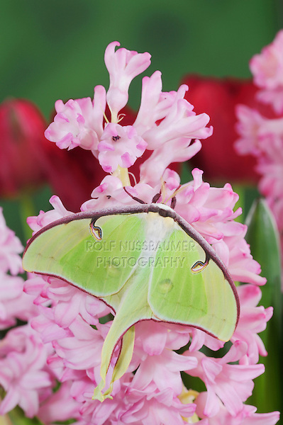 Luna Moth (Actias luna), adult resting on Easter Hyacinth (Hyacinthus s.), New Braunfels, Texas, USA