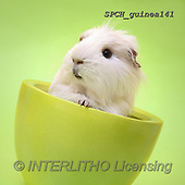 Xavier, ANIMALS, REALISTISCHE TIERE, ANIMALES REALISTICOS, photos+++++,SPCHGUINEA141,#A#, EVERYDAY ,funny