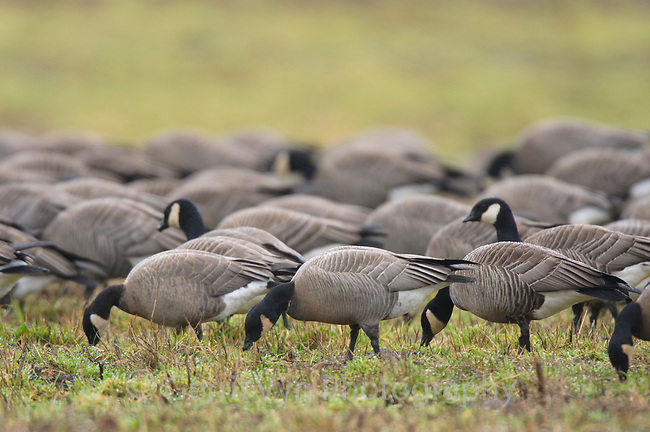 Cackling Geese (Branta hutchinsii) of the subspecies B. h, minima feeding in a field. This subspeceis nests on the Yukon-Kuskokwim Delta in Alaska. Ridgefield National Wildlife Refuge, Washington. January.
