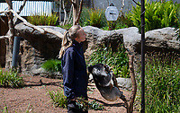 BNPS.co.uk (01202) 558833. <br /> Pic: ZacharyCulpin/BNPS<br /> <br /> Pictured: Keeper Abbie Wheeler weighs one of the Longleat koala's<br /> <br /> Keepers at a safari park are are using a novel method to weigh their koalas. <br /> <br /> Rather than attempt to get the adorable marsupials to stay still on a weighing machine, staff at Longleat Safari Park in Wiltshire use a set of scales attached to an adapted wooden branch, which the koalas happily hold on to.<br /> <br /> Weight is a key indicator of a koala's health and each individual animal has to be weighed twice a week to ensure they're in top condition.