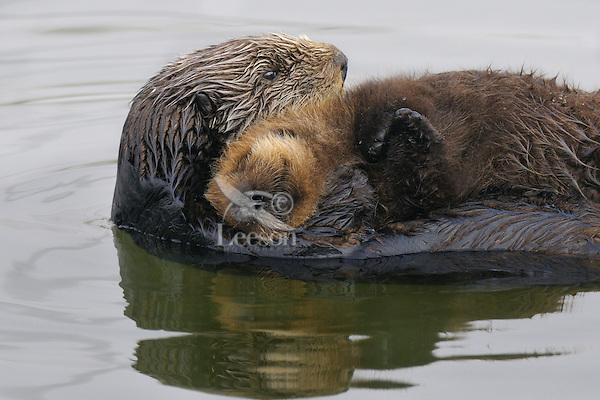 """Sea Otter (Enhydra lutris) mother with sleeping pup.  Young pups have light brown or yellowish fur called the """"natal pelage.""""  This fluffy fur helps the pup stay afloat before it learns the intricacies of swimming, and it will be completely replaced with dark brown adult fur by the time the pup is about three months old."""