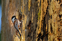 Chestnut-backed Chickadee nesting in old snag in old growth forest in Olympic National Park rain forest, WA.  June.
