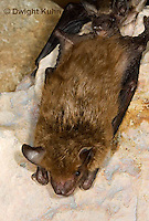 MA20-673z   Big Brown Bat hanging from rock roost, Eptesicus fuscus