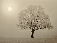 Lone oak tree in field. Wilsonville, Oregon