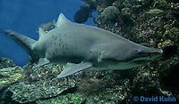 0128-08rr  Sand Tiger Shark, Carcharias taurus © David Kuhn/Dwight Kuhn Photography