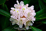 Great Laurel, Rhododendron, Rhododendron maximum
