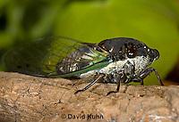 0901-0834  Dog-day Cicada, Tibicen spp.  © David Kuhn/Dwight Kuhn Photography.