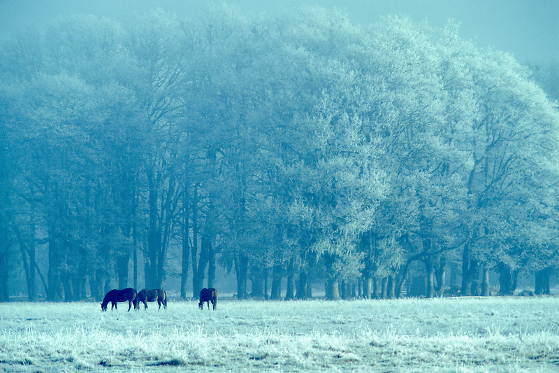 A00005.tif   Horses in frozen pasture with fog. Near Junction City, Oregon