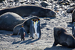 King Penguins & Fur Seals (one king penguin is severely injured)
