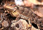 Mountain Short Horned Lizard