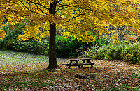 Picnic table under colorful autumn tree.