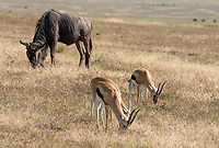 Thomson's Gazelles, Eudorcas thomsonii, and Wildebeest, Connochaetes taurinus, in Ngorongoro Crater, Ngorongoro Conservation Area, Tanzania