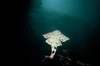 Pacific Angel Shark, Squatina californica, swimming through kelp bed, California, USA, Pacific Ocean