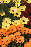 'CRESCENDO YELLOW' AND 'CRESCENDO ORANGE' AFRICAN DAISY, OSTEOSPERMUM HYBRID