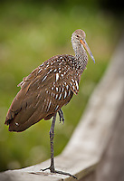 Limpkin standing on one foot on the boardwalk railing at Green Cay Wetlands in Florida.