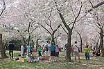 Tourist under the cherry blossoms. Washington, DC, U.S.