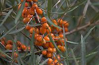 Sanddorn, Sand-Dorn, Küsten-Sanddorn, Frucht, Früchte, Hippophae rhamnoides rhamnoides, Sea Buckthorn, Argousier, Saule épineux