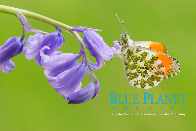Orange-tip Butterfly (Anthocharis cardamines), adult male, resting on Bluebell (Endymion non-scriptus), flower, England, United Kingdom, Europe