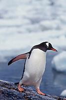 Gentoo penguin (Pygoscelis papua), Antarctic Peninsula