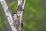 Eastern kingbird sitting on nest in northern Wisconsin.