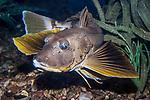 striped searobin swimming 45 degrees to camera