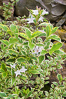 Weigela 'Variegata' or perhaps 'Praecox Variegata' variegated yellow and green with white flowers