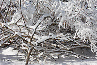 MA19-511z  Snowshoe Hare camouflaged in snow, Lepus americanus