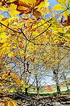 Autumn leaves, Mt Wilson, NSW, Australia