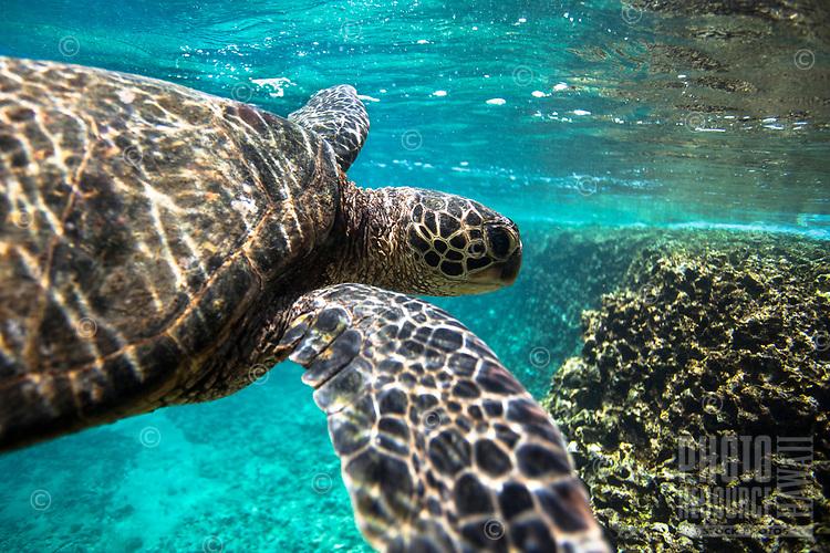 A Hawaiian green sea turtle (or honu) swims near the reef at Shark's Cove, O'ahu.