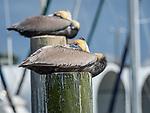 Eastern Brown Pelican on piling.