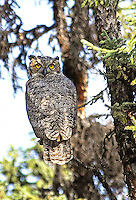A Great Horned Owl peers as passersby along the Gulkana River, in central Alaska.