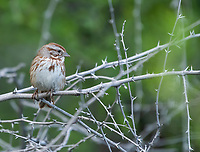 Song Sparrow, Melospiza melodia, in the Riparian Preserve at Water Ranch, Gilbert, Arizona